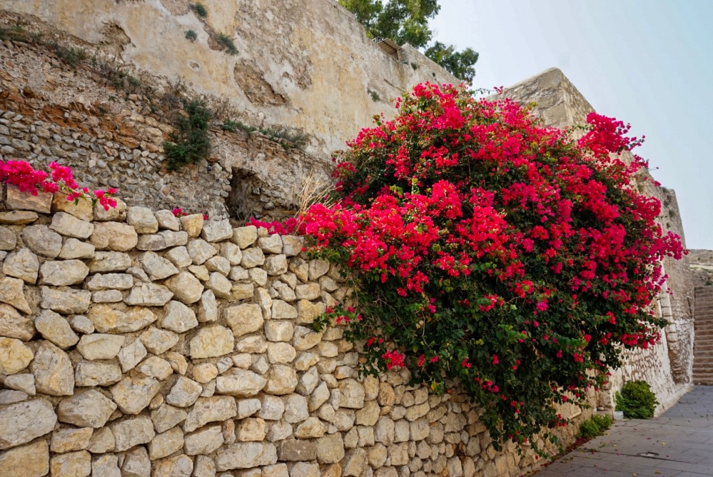 Pink flowers, Ibiza Town